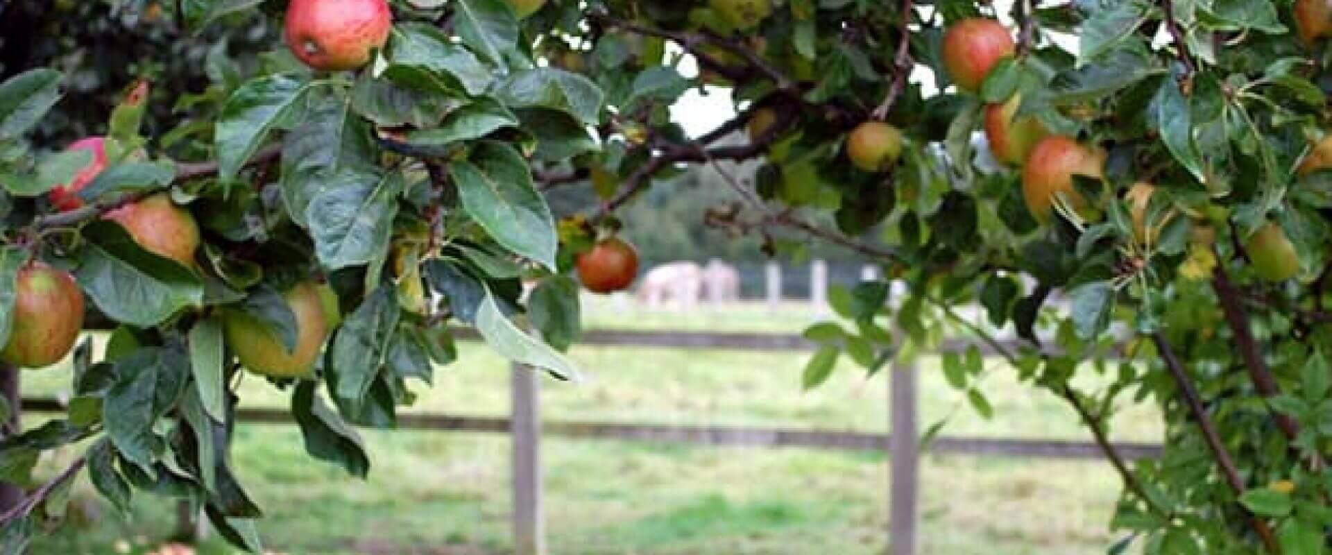 Apples on tree-Windfall Tatin